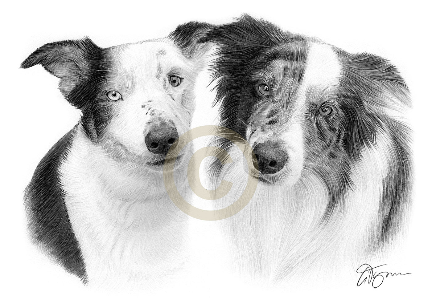 Pet portrait commission of two blue merle border collies called Juno and Ollie by artist Gary Tymon