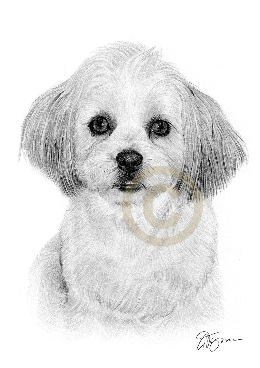 Pet portrait commission of a Shih Tzu by artist Gary Tymon
