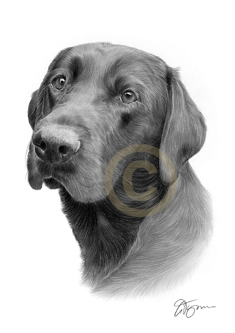 Pencil drawing commission of a retriever called Harley by artist Gary Tymon