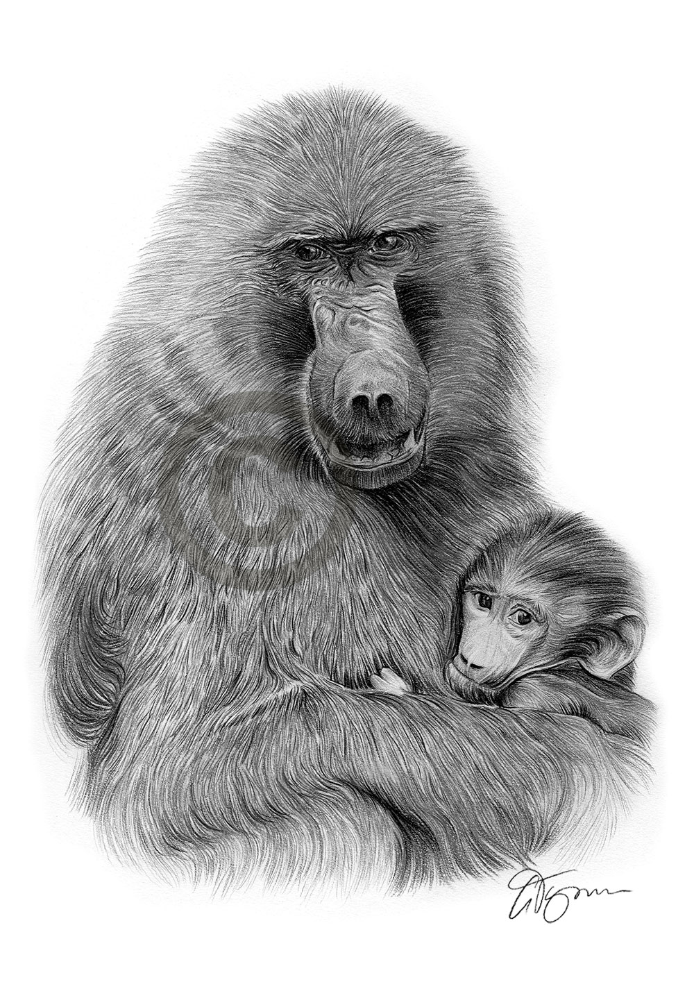 Pencil drawing of a baboon by artist Gary Tymon