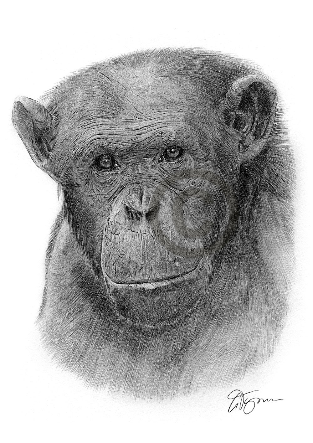 Pencil drawing of an adult chimpanzee by artist Gary Tymon