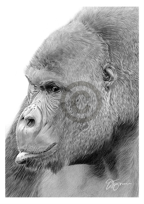 Pencil drawing of a Gorilla