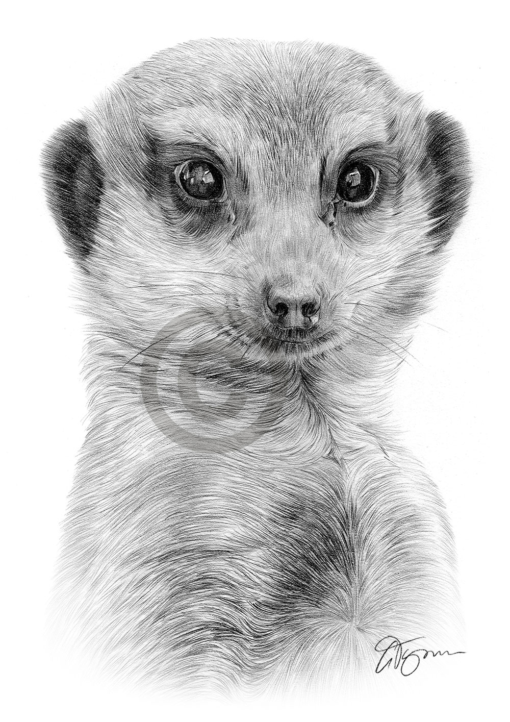 Pencil drawing of an African meerkat by artist Gary Tymon