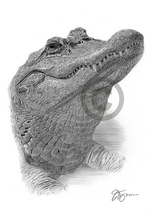 Pencil drawing of an alligator