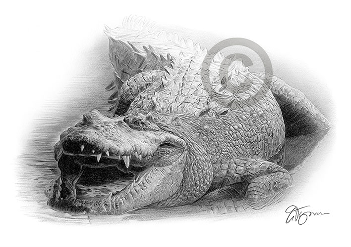 Pencil drawing of a crocodile