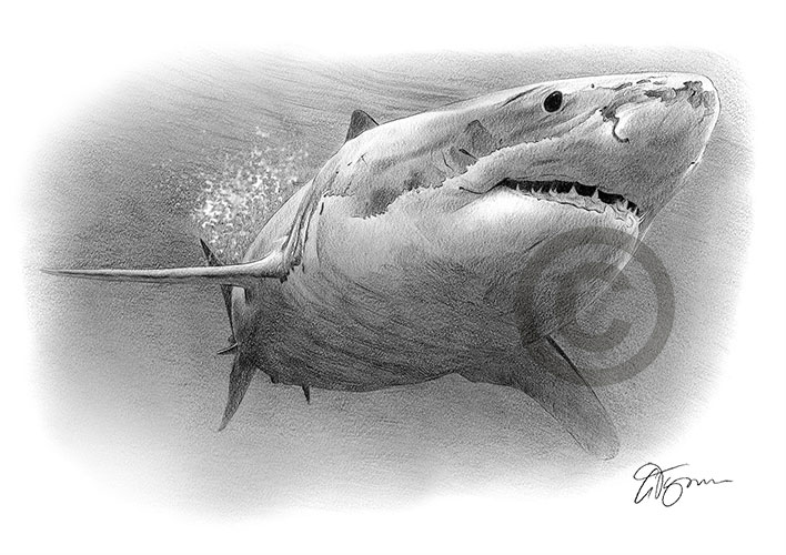 Pencil drawing of a great white shark