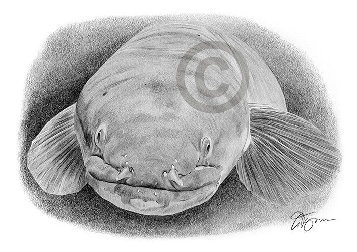 Pencil drawing of a long fin eel