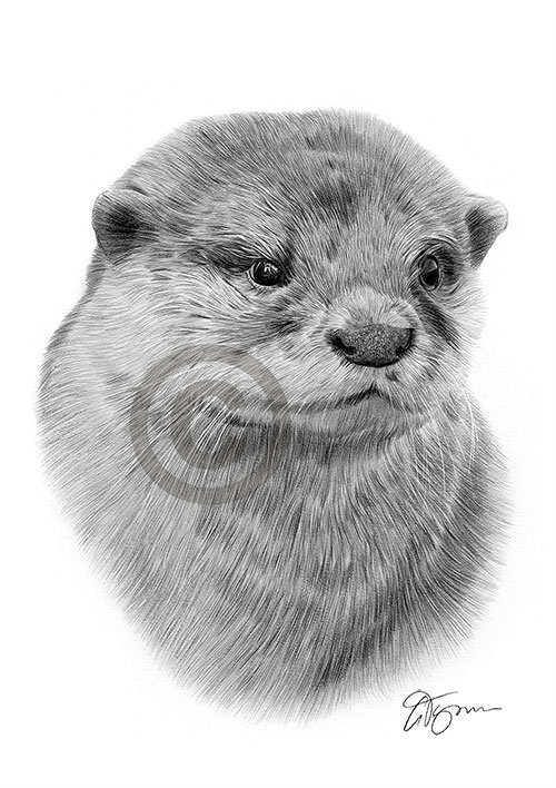 Pencil drawing of an otter