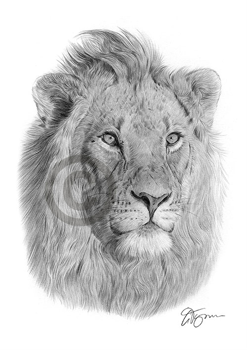 Male African Lion pencil drawing thumbnail