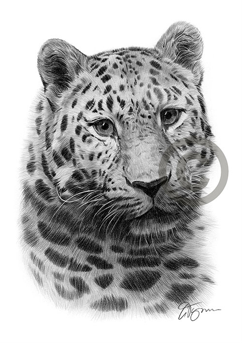 Amur Leopard pencil drawing thumbnail