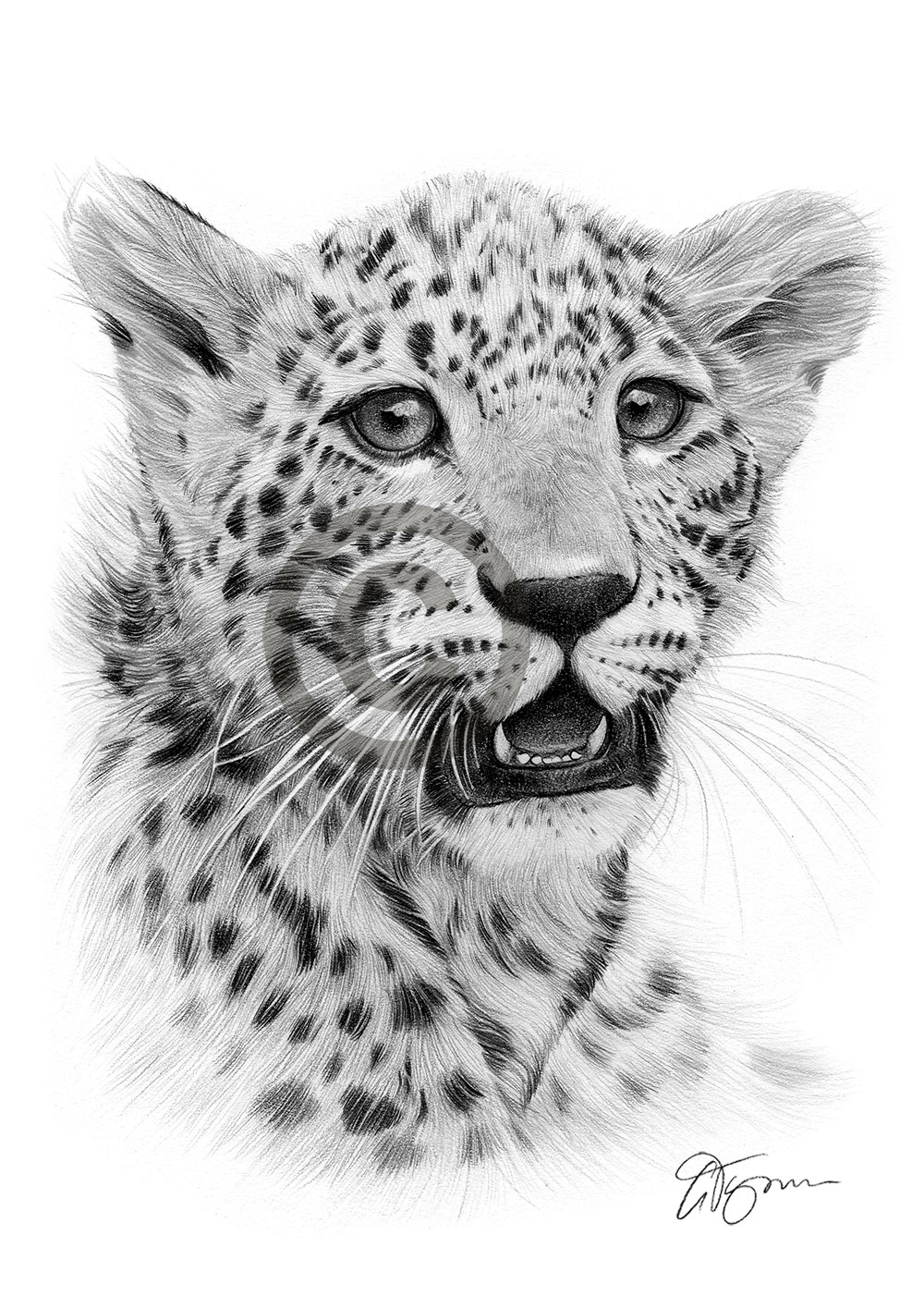Cheetah cub pencil drawing by artist Gary Tymon