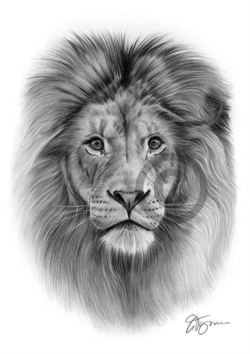 African adult Lion pencil drawing thumbnail