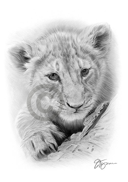 Lion Cub pencil drawing thumbnail