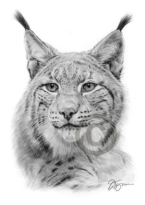 Lynx pencil drawing thumbnail