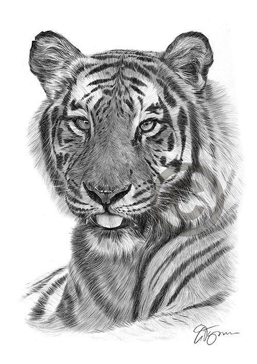Adult Bengal Tiger pencil drawing thumbnail