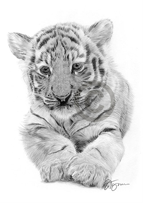 Bengal Tiger Cub pencil drawing thumbnail