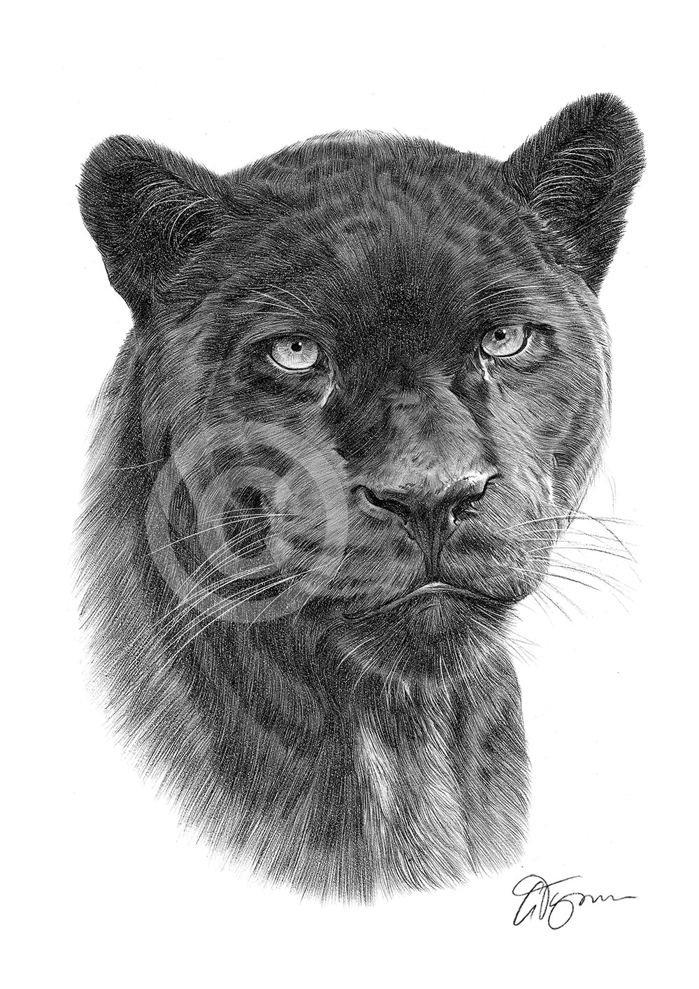 Black Panther pencil drawing by artist Gary Tymon
