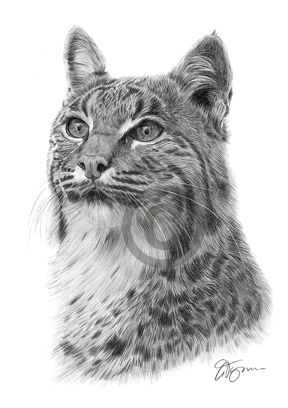 Bobcat Lynx pencil drawing by artist Gary Tymon