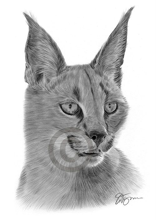 Caracal pencil drawing thumbnail
