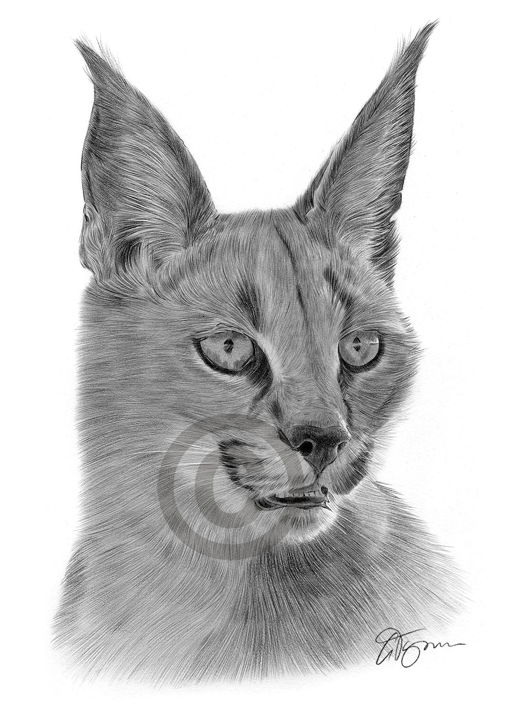Caracal pencil drawing by artist Gary Tymon