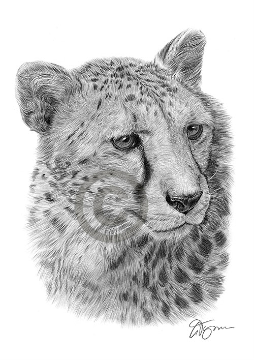 Cheetah pencil drawing thumbnail