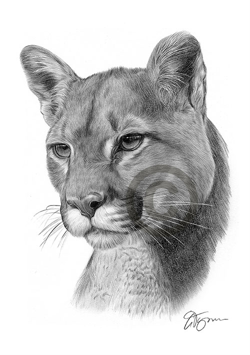 American Cougar pencil drawing thumbnail