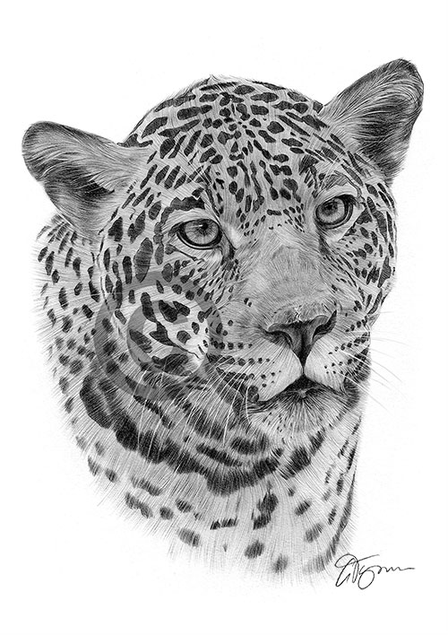 Jaguar pencil drawing thumbnail