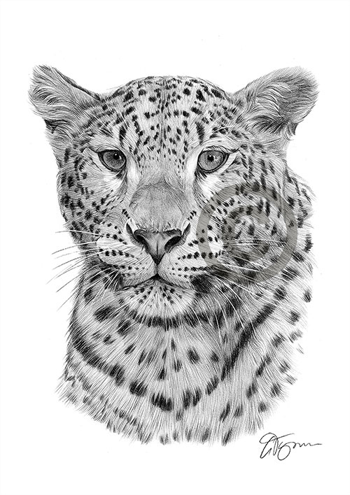 Leopard pencil drawing thumbnail