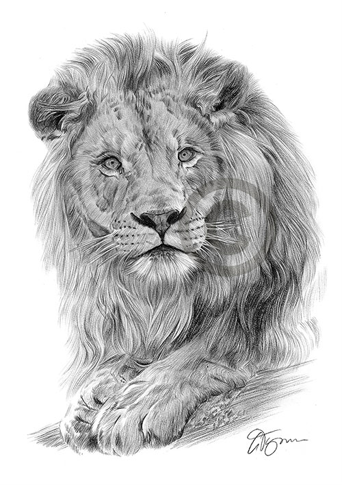 African Lion pencil drawing thumbnail