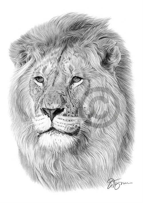 Lion pencil drawing thumbnail