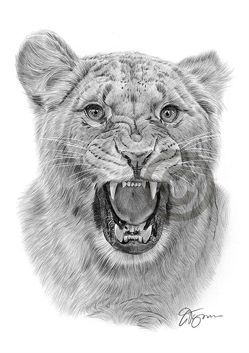 Angry Lioness pencil drawing thumbnail
