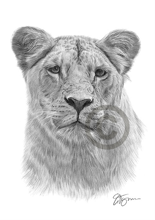 Lioness pencil drawing thumbnail