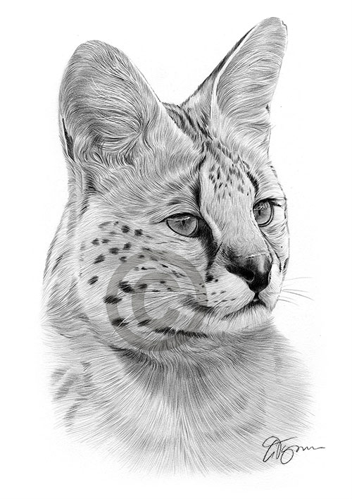 Serval pencil drawing thumbnail
