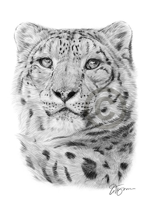 Adult Snow Leopard pencil drawing thumbnail