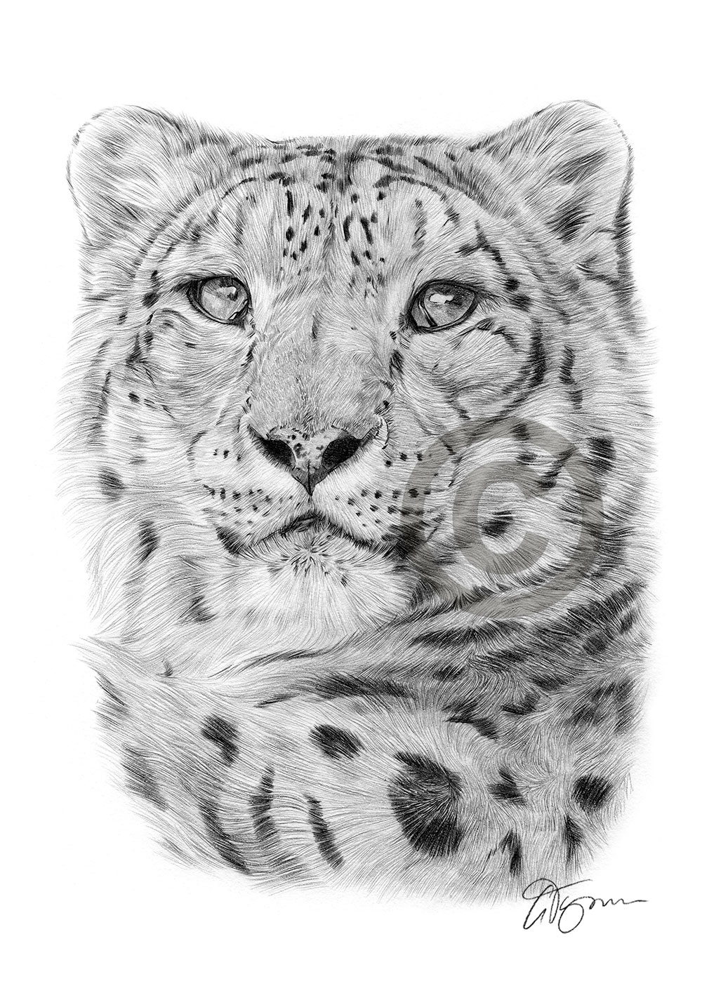 Adult Snow Leopard pencil drawing by artist Gary Tymon