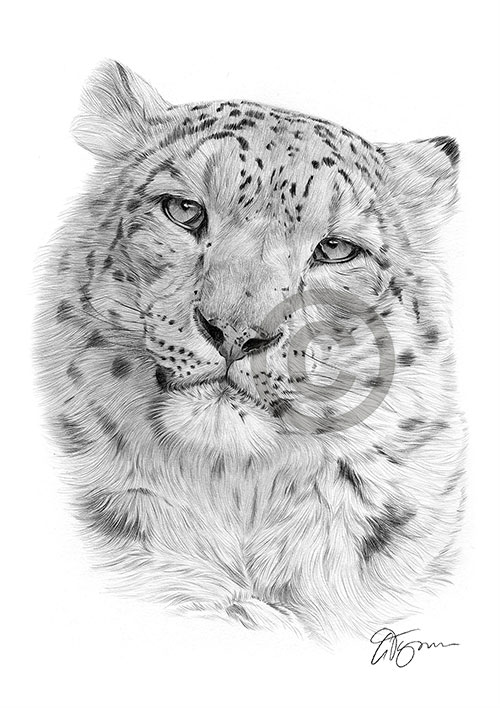 Snow Leopard pencil drawing thumbnail