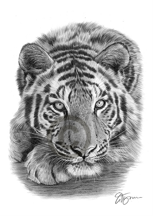 Sumatran Tiger pencil drawing thumbnail