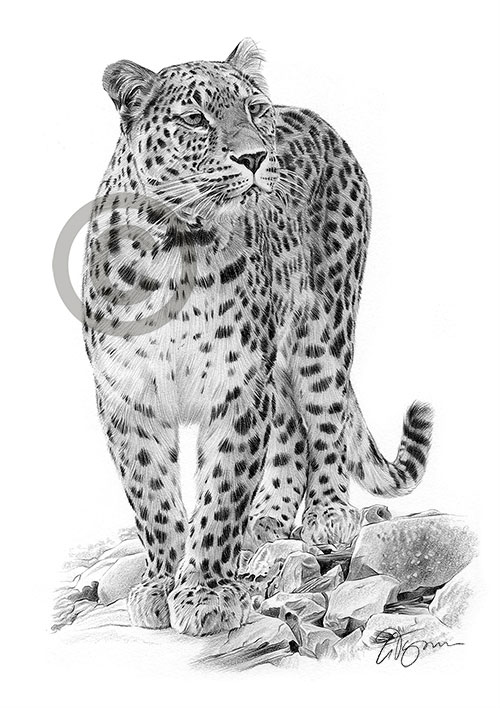 Persian Leopard pencil drawing thumbnail