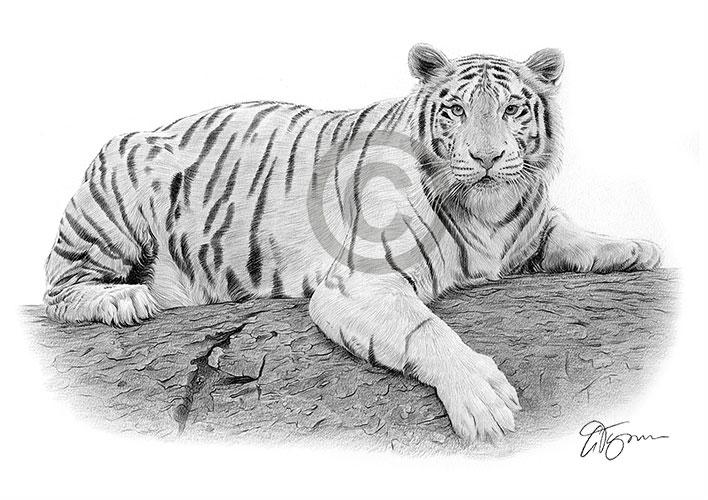 White Bengal Tiger pencil drawing thumbnail