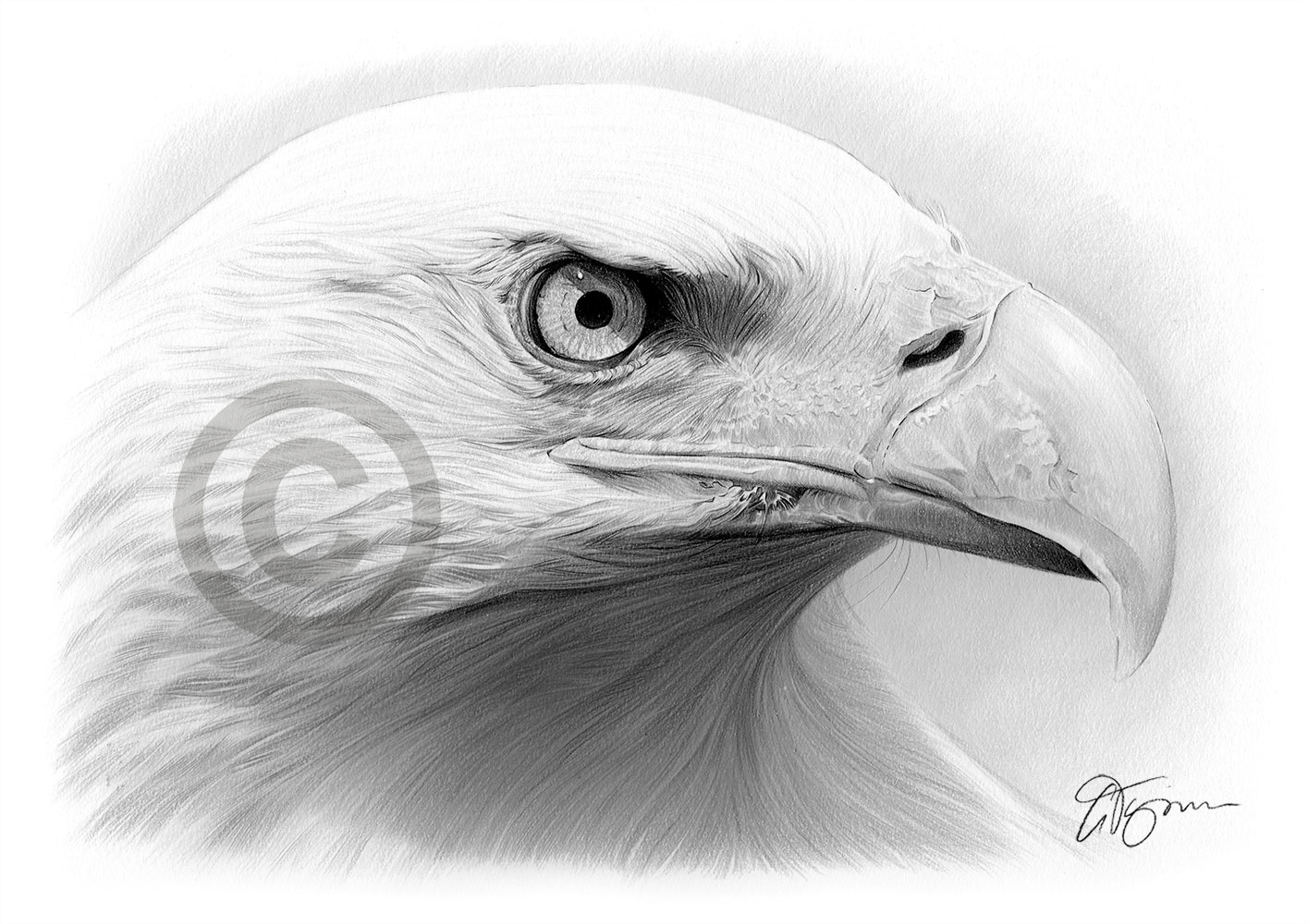 Bald Eagle pencil drawing by artist Gary Tymon