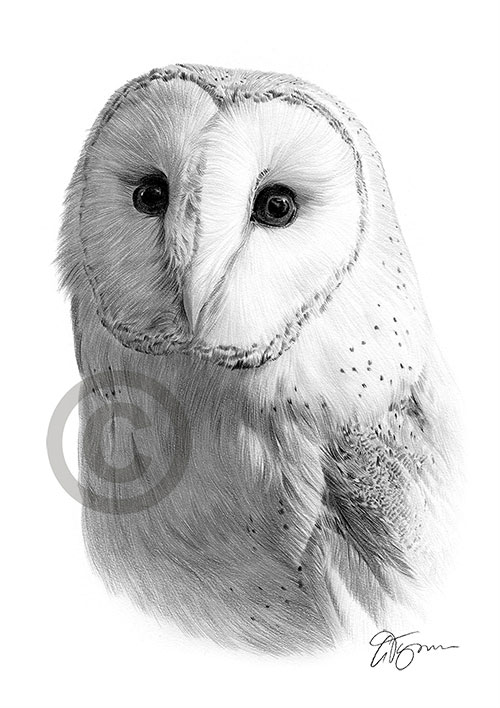 Pencil drawing of a Barn Owl