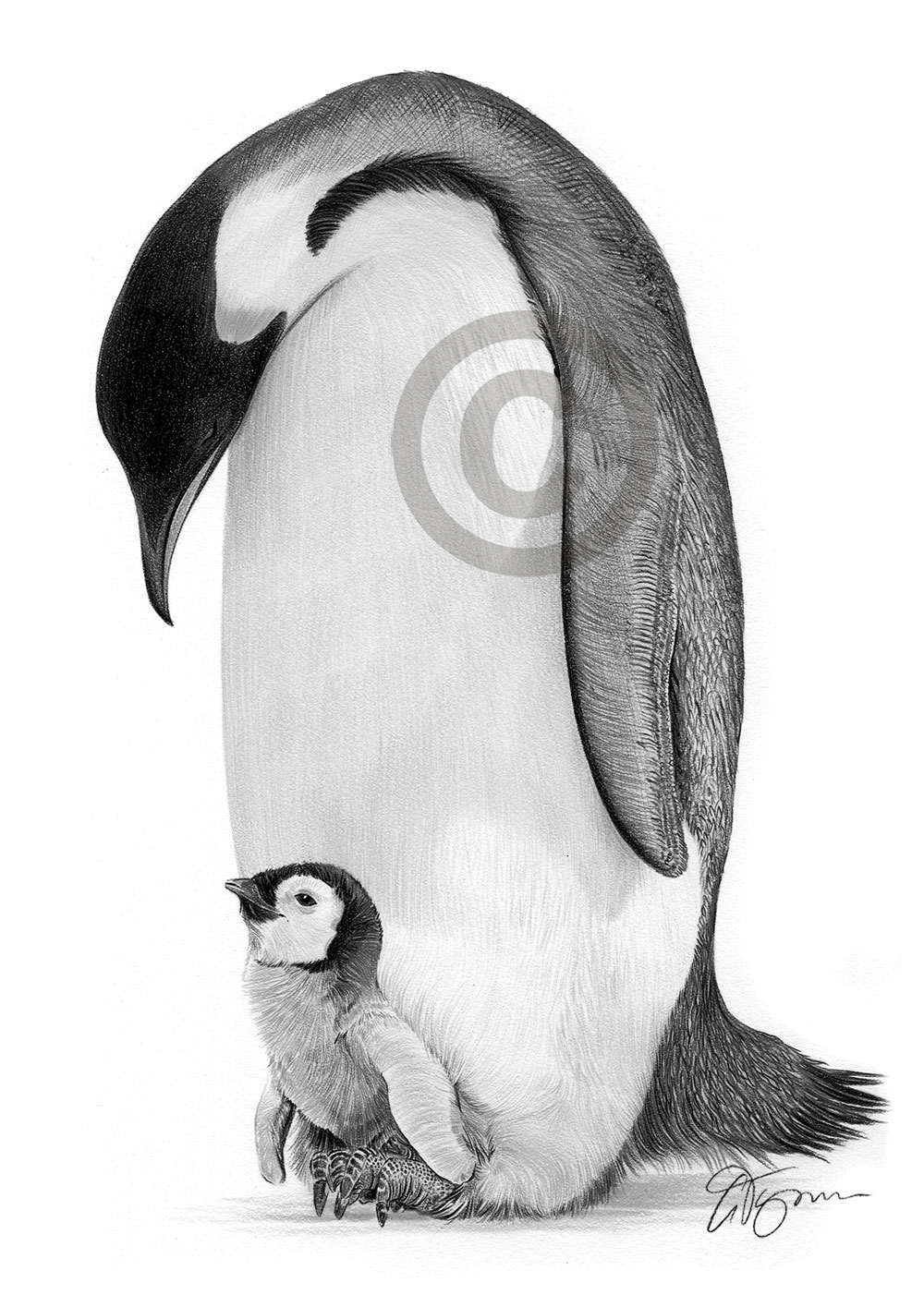 Pencil drawing of an emperor penguin by artist Gary Tymon