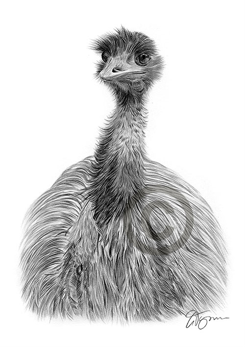 Pencil drawing of an Emu