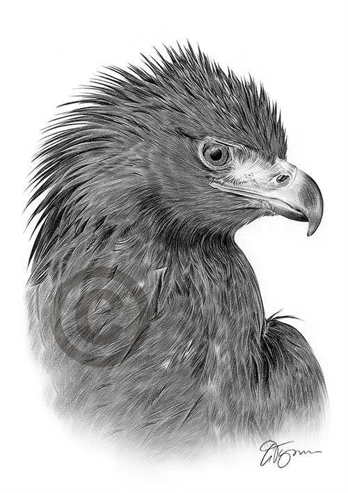 Adult Golden Eagle pencil drawing thumbnail