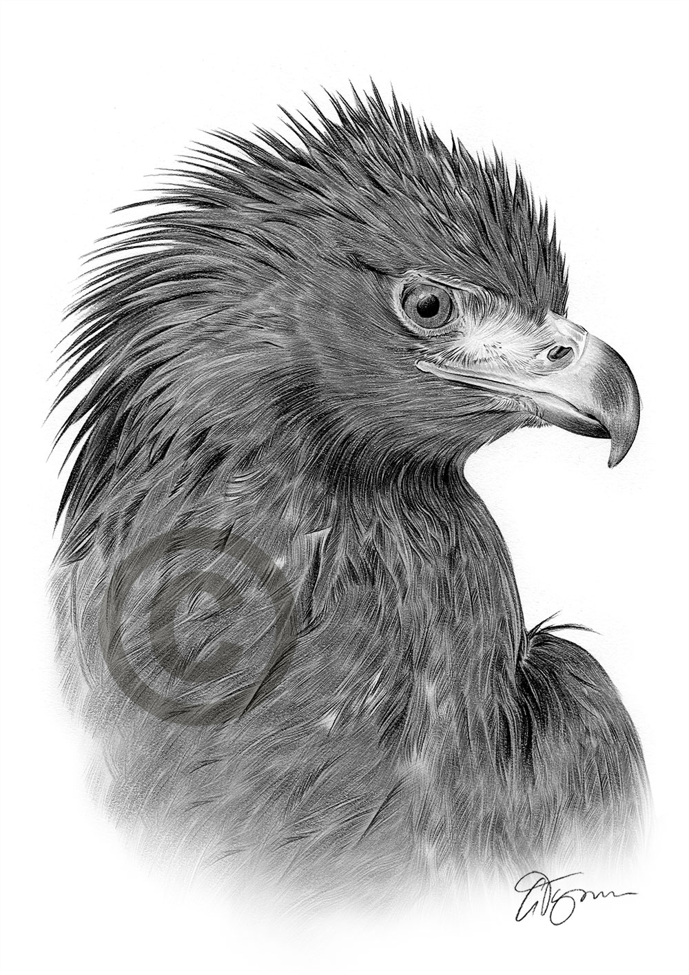 Adult Golden Eagle pencil drawing by artist Gary Tymon