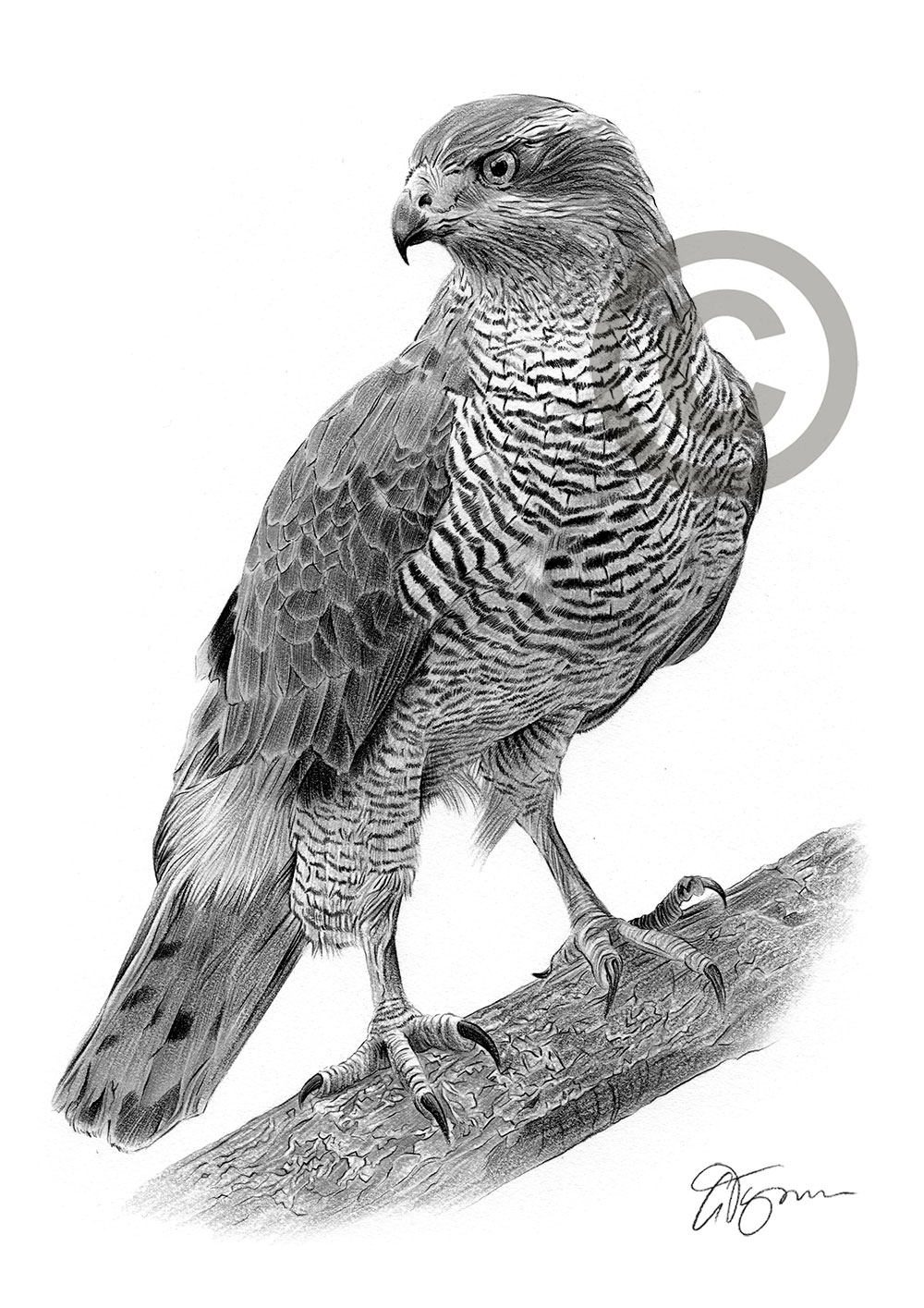 Goshawk pencil drawing by artist Gary Tymon