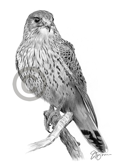 Kestrel pencil drawing thumbnail