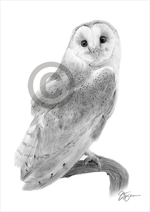 Barn Owl pencil drawing thumbnail