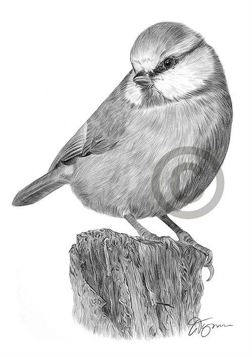 Blue Tit pencil drawing thumbnail