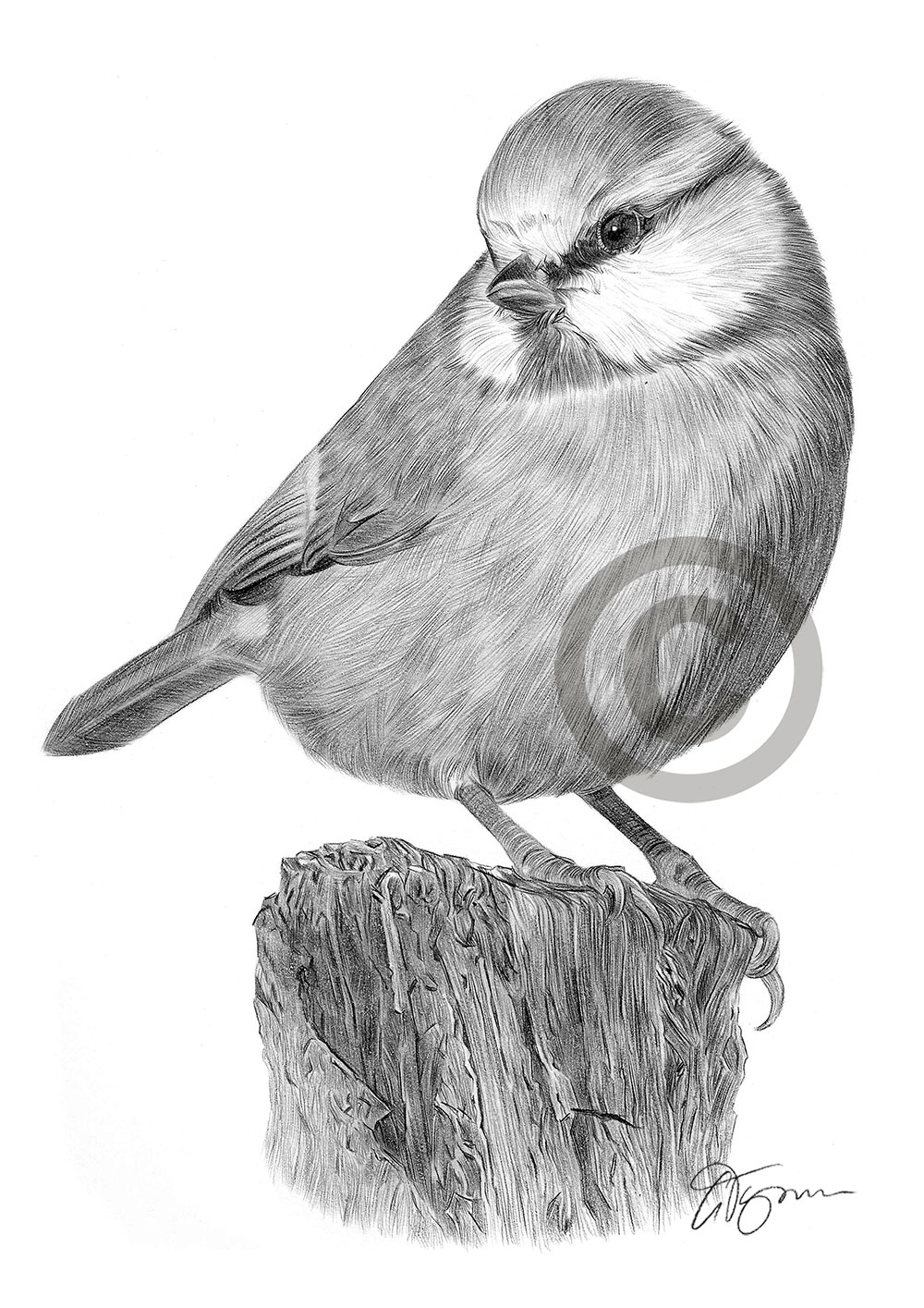 Pencil drawing of a blue tit by artist Gary Tymon